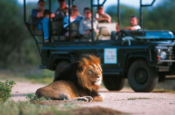 Guided game drives in Kapama Game Reserve offer lion sightings.
