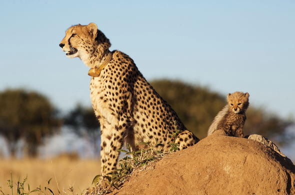 Adorable cheetah and cub sighting in Kapama Private Game Reserve.